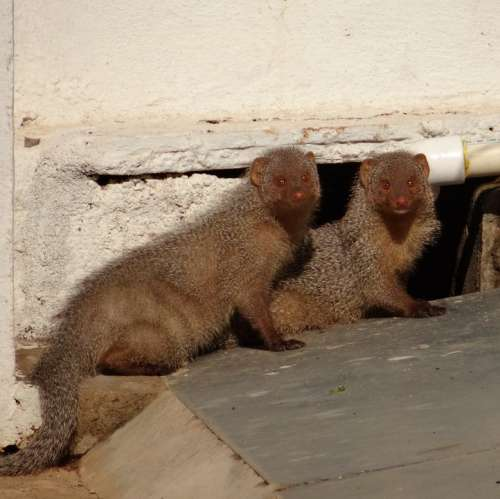 Mongoose Rodents Indian Animal Dharwad India