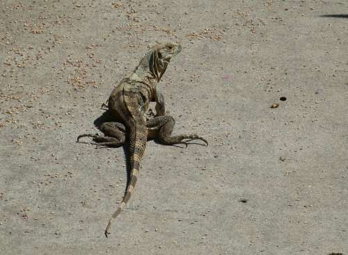 Monitor Lizard Reptile Animal Iguana Dragon Scaly