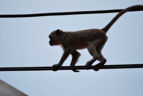Monkey Äffchen Ape