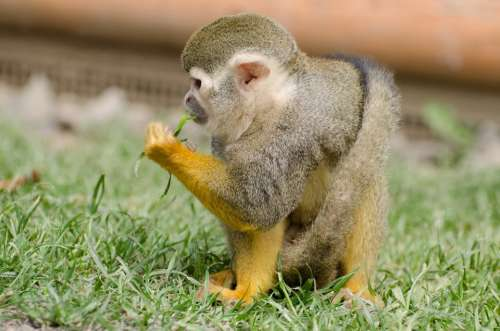 Monkey Amazon Squirrel Rainforest Tree Snout