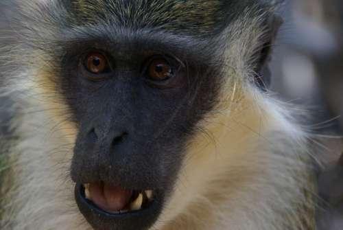 Monkey Nature Animals Gambia Africa