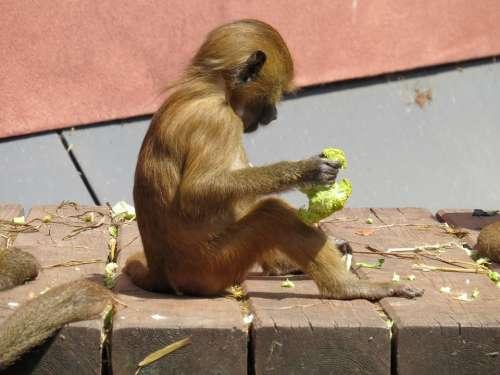 Monkey Barbary Ape Macaca Sylvanus Mahogany
