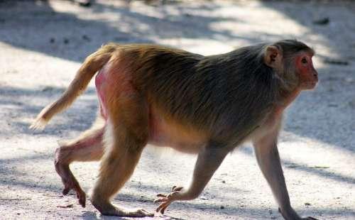 Monkey Fat Walking Ape Primate India Mammal