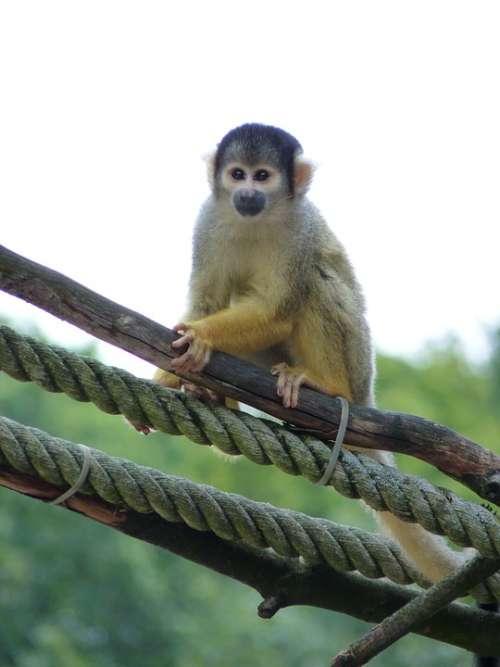 Monkey Squirrel Monkey Climb Tiergarten Zoo