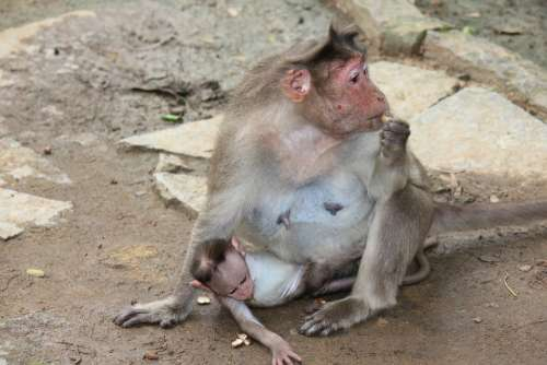 Monkey Mother Baby Animal Zoo Wildlife