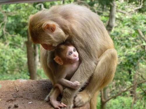 Monkey Family Animal Monkeys Veduino Mammals