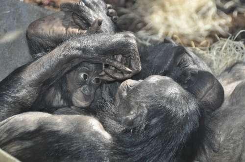 Monkey Love Bonobos Ape Primates