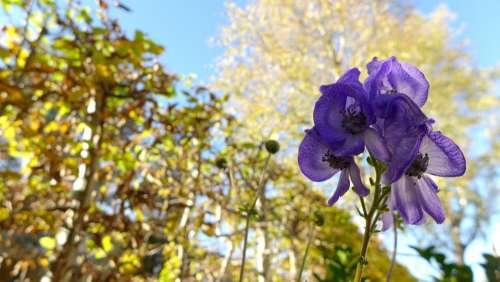 Monkshood Toxic Plant Poisonous Plant Flora