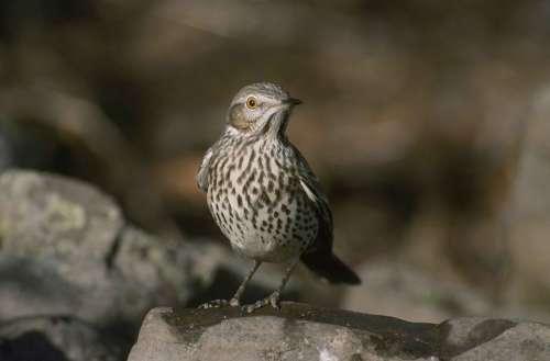 Montanus Oreoscoptes Bird Thraster Sage Birds