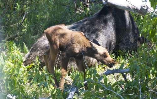 Moose Baby Wyoming Nature Grand Teton National Park