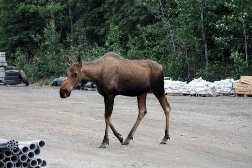 Moose Denali Denali National Park National Park