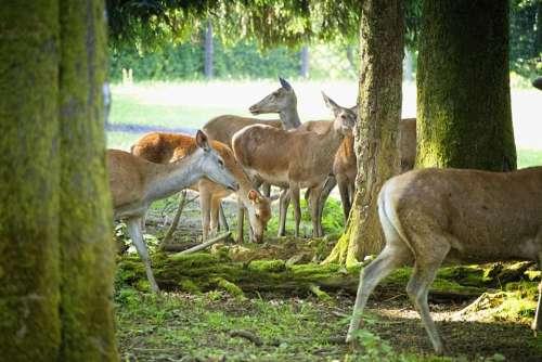 Morning Sun Hinds Forest Deer Park Flock