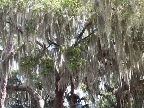 Moss Cover Trees Forest Green Landscape Florida