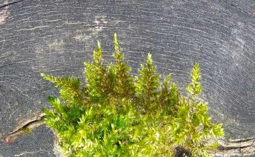 Moss Annual Rings Log Grain