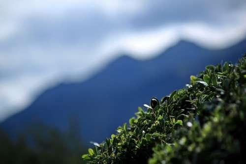 Mountain Shrub Plant Leaf Green Landscape Nature