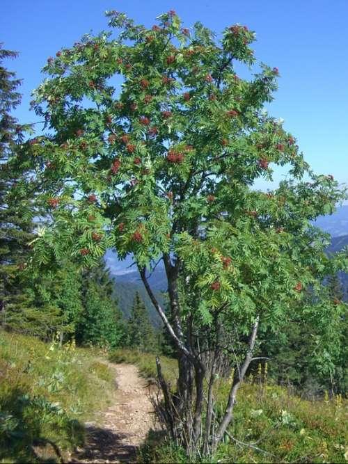 Mountain Ash Rowan Berries Red Sky Blue Path
