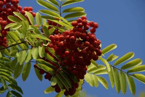 Mountain Ash Berries Rowanberries Red Fruits Ash