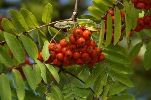 Mountain Ash Berries Rowan Red Fruits Ash Tree