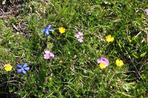 Mountain Flowers Flower Alpine Meadow