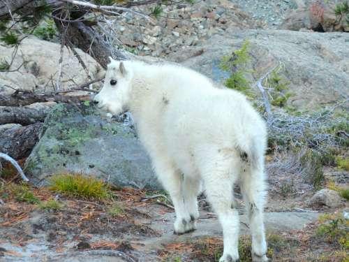 Mountain Goat Wild Animal Goat Mountain Nature