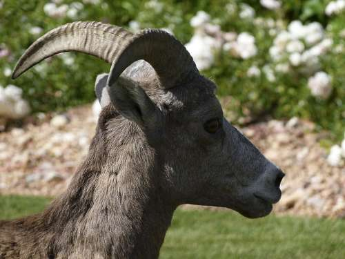 Mountain Sheep Head Horn Garden Animal Mammal
