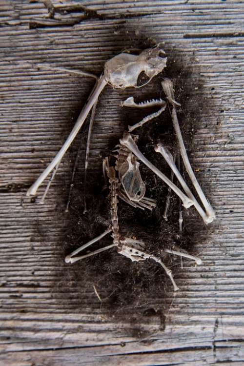 Mouse Skeleton Bone Pile Frame Dead Bone Fur