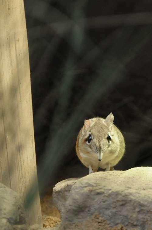 Mouse Elephant Mouse Short Proboscis Springer Ear