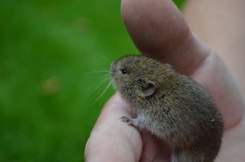 Mouse Nager Field Mouse Animal Cute