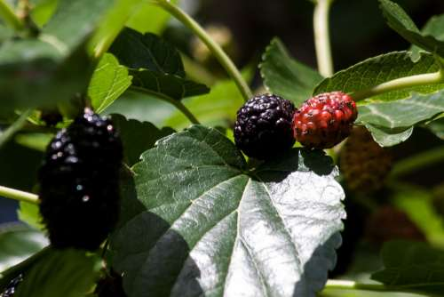 Mulberries Black Red Mulberry Tree Morus Moraceae