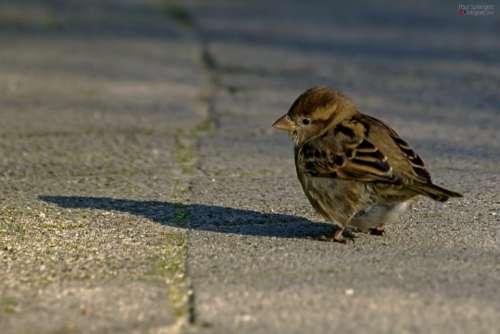 Mus Bird Small