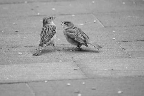 Mus Sparrows Homester Bird Birds Nature Animals