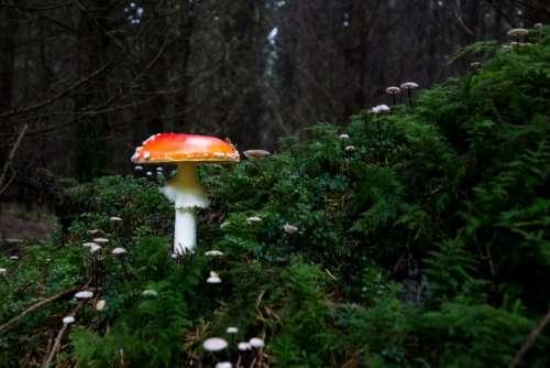 Mushroom Fly Agaric Forest Autumn Leaves