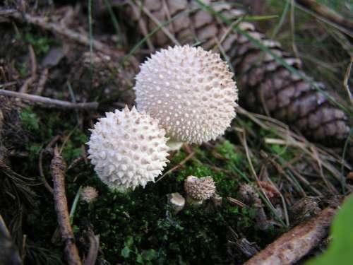 Mushrooms Umbrinum Lycoperdon Spur Nature Spiny