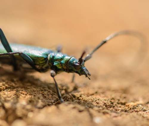 Musk Beetle Aromia Moschata Insects Summer Nature