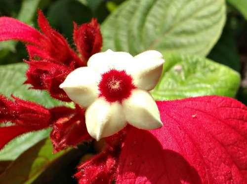 Mussaenda Flower Red Stamen Dharwad India