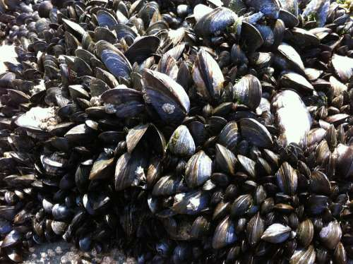 Mussels Seafood Shellfish Mollusk Shells Mussel