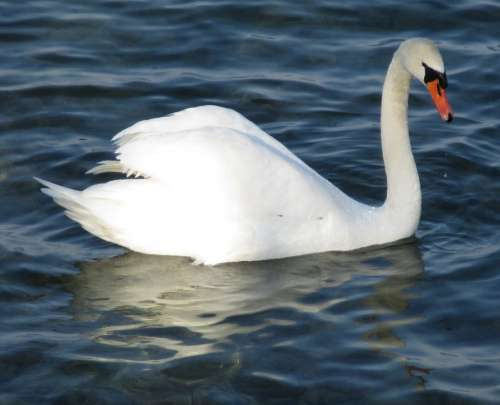Mute Swan Bird Swan Majestic Plumage Beaded Lake