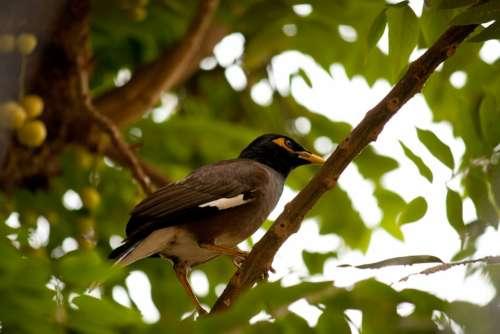 Myna Bird Perched Branch Tree