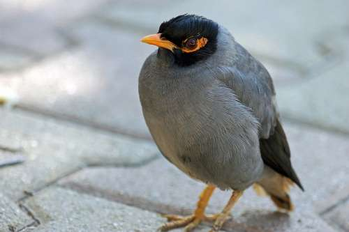 Mynah Bird Nature Animal Animals Wings Beak Pen