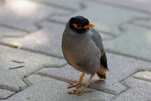 Mynah Bird Nature Animal Animals Wings Beak Pen