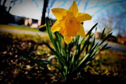 Narcissus Flower Blossom Bloom Yellow Spring