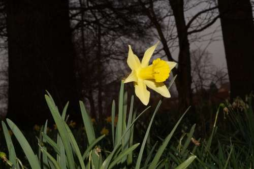 Narcissus Daffodil Flower Blossom Bloom Yellow