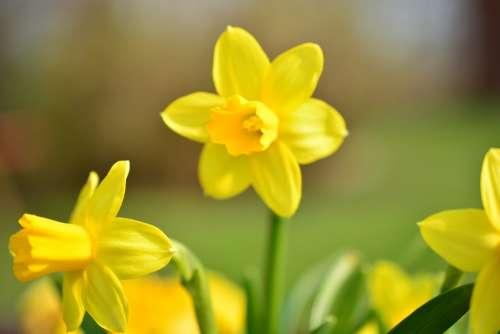 Narcissus Daffodil Flower Blossom Bloom Yellow