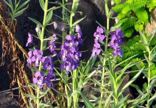 Narrowleaf Angelonia Summer Snapdragon Angel Flower