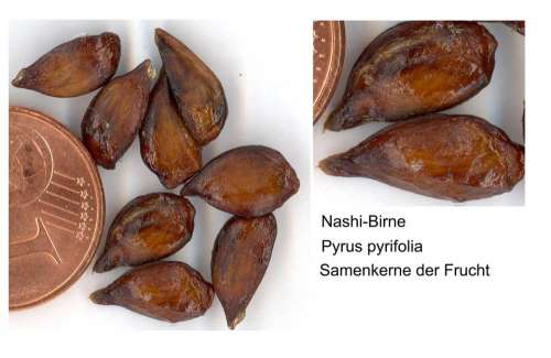 Nashi Pear Sweet Fruit Exot Scanners Food Eat