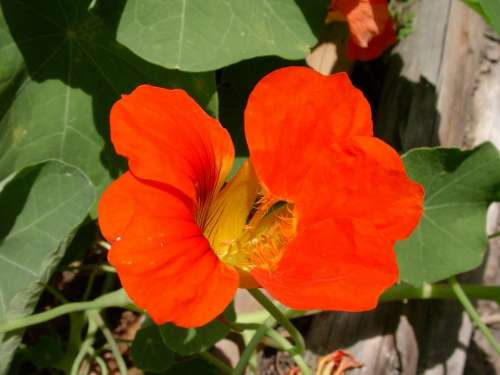 Nasturtium Red Flower