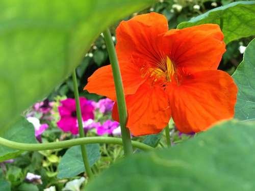 Nasturtium Blossom Bloom Orange Green Decoration