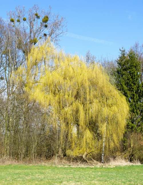 Nature Trees Weeping Willow Landscape