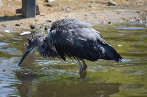 Nature Bird Water Bird Animal Artis Holland Zoo