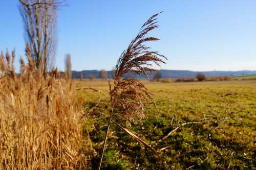 Nature Reed Marsh Plant Grass Plant Autumn Meadow